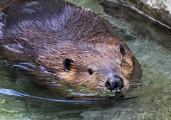 Beaver ( Castor canadensis) (CGDana) Tags: national zoo smithsonian mammal megafauna dc canon 7d mkii