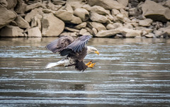 Eyes On The Prize (Vic Zigmont) Tags: eagles bird eaglefishing eagleinflight