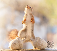 red squirrel standing on a acorn and looking up (Geert Weggen) Tags: acornsitting squirrel redsquirrel acorn eating grey mossy sitting animal beautiful corn cute england essex kingdom lunch mammal meal nature outdoor food bispgården jämtland sweden geert weggen hardeko ragunda