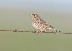 Corn Bunting (tickspics ) Tags: birds cornbunting spain europe extremadura magascaplains emberizacalandra emberizidae