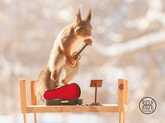 red squirrel jumping with a guitar (Geert Weggen) Tags: redsquirrel red squirrel animal arts author back bow bright classical closeup concert culture cute entertainment equipment horizontal humor instrument music guitar stringinstrument bispgården jämtland sweden geert weggen ragunda geertweggen hardeko
