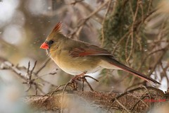 IMG_4935 female red cardinal (starc283) Tags: starc283 wildlife canon 7d flickr flicker winter nature natures finest watcher outdoors outdoor cardinal red male bird tree naturewatcher naturesfinest