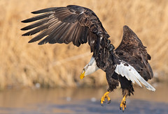 Bald Eagles (Jami Bollschweiler Photography) Tags: bald eagle photography utah photographer juvenile fighting flying flight birds birding bird