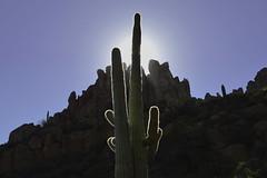 Showtime (jeffr71) Tags: cactus saguaro light sky mountain peraltatrail weaversneedle sun arizona