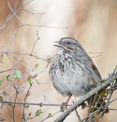 Happy Song. (Omygodtom) Tags: wildlife nature nikkor bird songsparrow outside usgs golden d7100 bokeh dof nikon70300mmvrlens happy spring scene