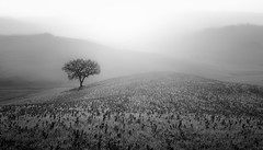 The tree of life (Fabrizio Massetti) Tags: bw backlit tree toscana tuscany landscape landscapes light lanscape fog fabriziomassetti famasse fields italia iq140 phaseone schneiderdigitar35mmf35