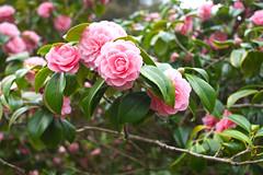 Pink & Green (Adam Swaine) Tags: parks park petals pinkgreen flora flowers canon londonparks peckhamryepark england english beautiful naturelovers nature seasons spring uk london southwark