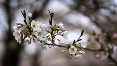 The City With A Proper Spring (gorelin) Tags: blossom cherry bos netherlands amsterdam shameless spring flower tree sakura closeup macro fe55f18za 55mm zeiss sonyilce7m2 ilce7m2 alpha sony