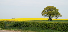 What Lies Beyond the Gate.... (antonychammond) Tags: countryside trees rape field sky hedge gate sussex rapeseedbrassicanapus eastsussex england contactgroups thegalaxy