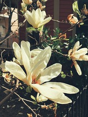 83/365 (moke076) Tags: 2019 365 project 365project project365 oneaday photoaday mobile cell cellphone iphone magnolia tree bloom flower spring cabbagetown atlanta ga south southern blossom blooming plant nature