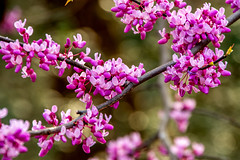 Spring 2019 Blooms (5) (tommaync) Tags: spring 2019 march blooms buds nature outdoor trees nikon d7500 chathamcounty chatham nc northcarolina redbud redbuds purple