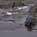 Juvenile Elephant Seal