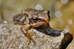 Frog (Hugo von Schreck) Tags: hugovonschreck frog frosch fantasticnature canoneos600d tamronspaf180mmf35dildifmacro11