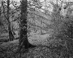 Stanley Burn Woods, Walker Titan SF 4x5 with Nikkor 90mm Lens, 5 sec @ 32, Hp5+ in Ultrafin (Jonathan Carr) Tags: monochrome blackandwhite largeformat 4x5 woodland walkertitansf hp5 rural northeast trees landscape