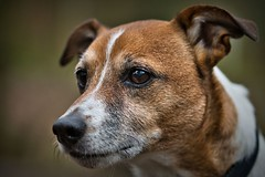 Jim (c.marney) Tags: jack russell terrier