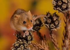Harvest mice 3 12.01.19 (Lee Myers - aka mido2k2) Tags: harvest mice mouse mammal small native wildlife uk countryside nature natural studio light portrait setup nikon d7100 flash strobe sigma macro 105mm cute smile happy fluffy rodent
