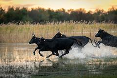 The Race (MrBlackSun) Tags: southfrance black bull camargue nikon d850