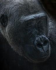 Up Close and Personal (KWPashuk) Tags: sony alpha a6000 55210mm lightroom luminar luminar2018 luminar3 kwpashuk kevinpashuk gorilla ape primate animal portrait wildlife toronto zoo ontario canada torontozoo