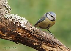 Herrerillo común (Cyanistes caeruleus) (Jose A. Casal) Tags: pajaros2019viii