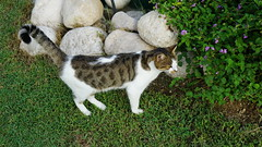 2015-09-20_16-38-22_ILCE-6000_DSC00243 (Miguel Discart (Photos Vrac)) Tags: 2015 61mm animal animalphotography animals animalsupclose animaux cat cats chat chats colakli e1670mmf4zaoss focallength61mm focallengthin35mmformat61mm holiday hotel ilce6000 iso100 kamelya kamelyaworld nature naturephotography pet sony sonyilce6000 sonyilce6000e1670mmf4zaoss summer turkey turquie vacance vacation