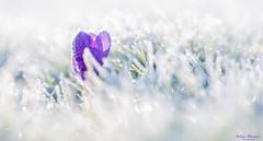 Spring Crocus (Wim Boon Fotografie) Tags: macro macrofotografie wimboon winter ice vorst flower contrast canoneos5dmarkiii canon100mmf28lismacro alblasserwaard alblasserdam speedlite