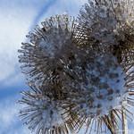 Winter Thistles - Chardons d'hiver thumbnail