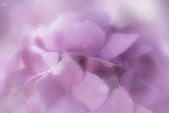 Pink Hydrangea (Small and Beautiful) Tags: hydrangea beauty macro pink flower soft