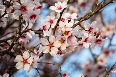 Sakura en Perales (Pablo Rodriguez M) Tags: madrid getafe españa spain cerezo cherry blossom sakura