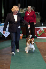 Diary_2016_159 (evinrisca) Tags: welshspringerspaniel wales chepstow open dogshow welshie spaniel