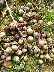 A gathering of acorns (seikinsou) Tags: england uk hemelhempstead amaravati buddhist monastery retreat retreatcentre autumn park oak acorn tree 10day candasiri ajahn
