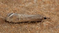Euchromius ocellea. (od0man) Tags: euchromiusocellea crambidae crambinae lepidoptera moth micromoth insect migrant macro macrolife canonef100mmf28lisusmmacro highworth wiltshire uk