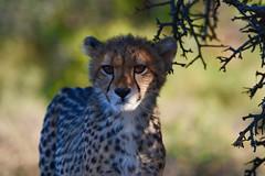 Cheetah Cub (cirdantravels (Fons Buts)) Tags: ngc npc naturethroughthelens easterncape southafrica wildlife carnivora predator wildafrica africansafari cheetah jachtluipaard guépard gepard acinonyxjubatus feline felindae felidae felinae