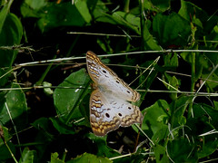 P1210695  White Peacock (birder2015 Toronto, Canada) Tags: whitepeacock butterfly mariposa lepidoptera insect holguincuba