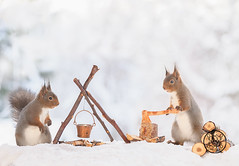 Red squirrels standing with a axe and a fire place (Geert Weggen) Tags: squirrel camera red animal backgrounds bright cheerful close color concepts conservation culinary cute damage day earth environment environmental equipment love valentine flower winter snow photo model person human man dianths fire wood axe fireplace matches burd cooking camping makecamp bispgården jämtland sweden geert weggen hardeko ragunda