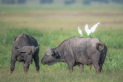 """By any chance, do I have two egrets on my backside?"" (Kitty Kono) Tags: africa tanzania ngorongorocrater capebuffalo kittyrileykono"