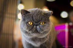 Gatto Bukowski (Eugenio GV Costa) Tags: gatto gatti occhi cat cats