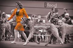 img_9999_134 (HoundPhotographer) Tags: irishwolfhound wolfhound hound crufts crufts2019 showdog dogshow