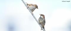 Look at me (volckmannfotografie) Tags: aves pajaros tendido electrico chile talcahuano octava region joaquinvolckmann jvolckmann nikon d7200 70300mm birds sky