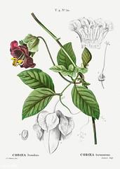 Cup and saucer vine (Cobaea scandens) illustration from Traité