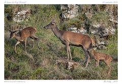 Le brame (BerColly) Tags: france auvergne cantal cerfs biche faon brame rut portrait automne autumn doe bercolly google flickr