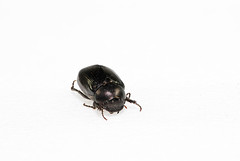 Apogonia bicarinata sauteri (optexSide) Tags: insecta apogonia bicarinata sauteri bug beetle insect nature npust taiwan macro