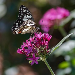 Chequered Swallowtail (gecko47) Tags: insect butterfly lepidoptera swallowtail chequeredswallowtail papilionidae papiliodemoleus bribieislandbutterflyhouse bribieisland brisbane display charity captivebreeding bongaree macro