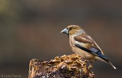 Hawfinch (Coccothraustes coccothraustes (Liviu Tanca) Tags: bird wildlife nature transilvania
