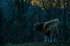 Ascent (stahlgewittern_) Tags: shadows cow nature naturephotography animal animalphotography rock ancient old black fur cold trees sunset