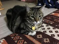Jealous Tigger (sjrankin) Tags: 21march2019 edited animal cat tigger mat floor dark livingroom kitahiroshima hokkaido japan