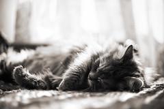 Monochrome Cat (FotodioxPro) Tags: cat catphotography lensadapter sleep peaceful home rollei50mm carlzeiss sonya7ii fullframe fotodiox fotodioxpro vintagelens classiclens fotodioxadapter animal pet rolleiplanar50mmf18 blackandwhite monochrome qbmtosonyemount rollei35