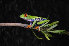 Red Eyed Treefrog (ToriAndrewsPhotography) Tags: red eyed tree frog costa rica laguna del lagarto photography andrews tori forest green amphibian er