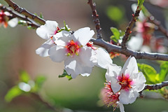 Almond blossoms (Monkeystyle3000) Tags: almond blossoms fruit tree flower white pink