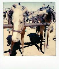 horse trying to drink other rider's water bottle (EllenJo) Tags: instantfilm polaroidoriginals theimpossibleproject impossibleproject instant arizona az march 2019 ellenjo sx70 polaroid daytriptoapachetrail apachetrail sonorandesert apachejunction fillysroadhouse apachejunctionarizona horses horseparking horseparkinglot