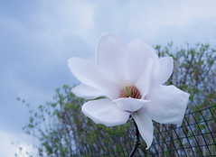 """""""gefangen""""  Magnolie (Mariandl48) Tags: magnolienblüte zaun gitter wenigzell steiermark austria"""